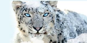 Snow-Leporad